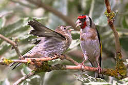 Goldfinch feeding young
