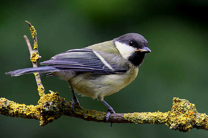 Juvenile Great Tit