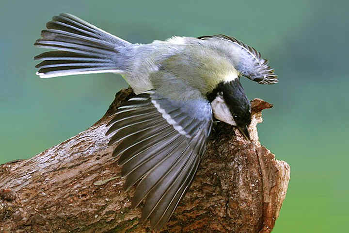 Great Tit threat display