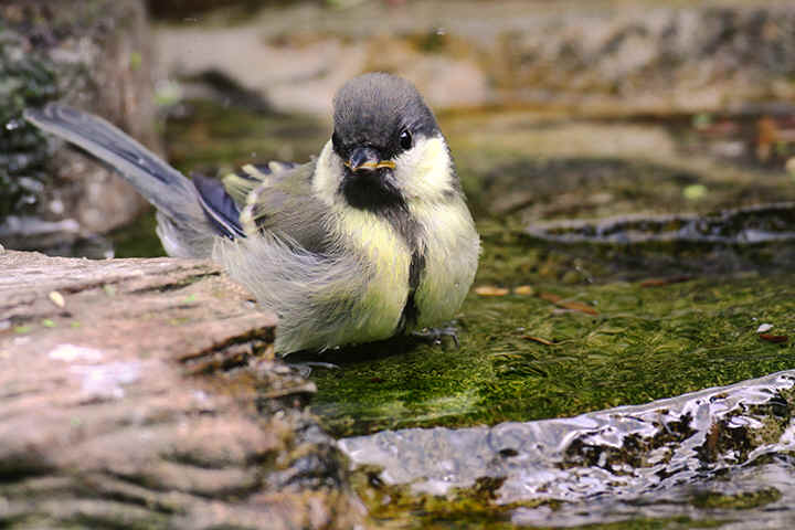 Juvenile Great Tit bathing