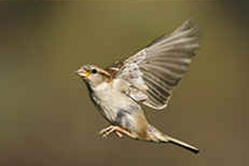Female House Sparrow in flight