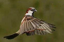 Male house Sparrow in flight