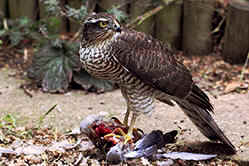 Female Sparrowhawk with prey, Collard Dove