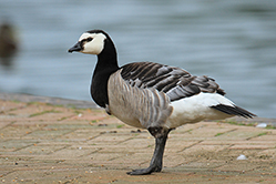 Barbacle Goose