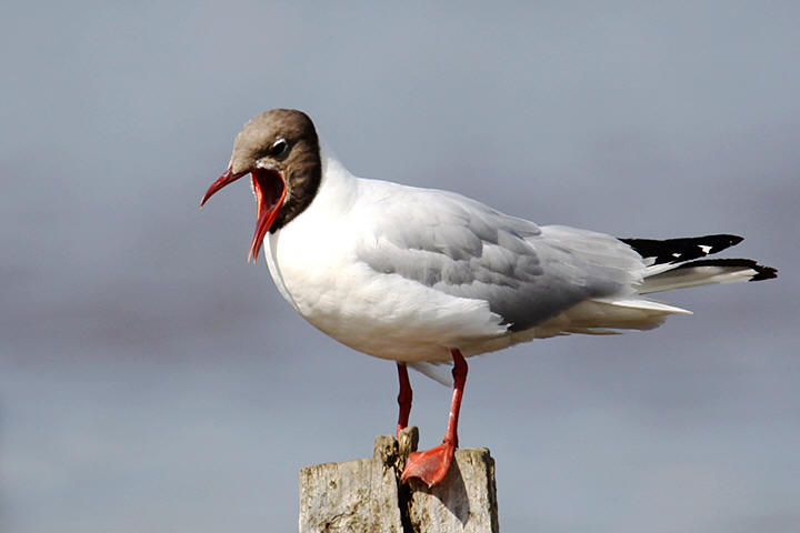 Black-headed Gull, summer
