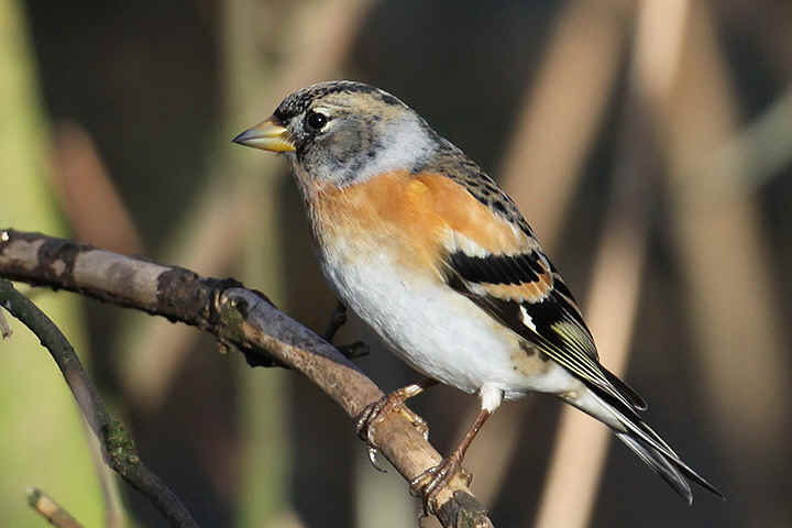 Male Brambling at Venus Pool