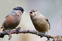 Male Bullfinch feeding juvenile