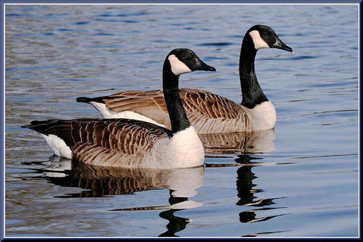 Pair of Canada Geese at Venus Pool