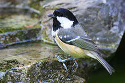 Coal Tit at water