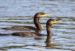 Pair of Cormorants at Venus Pool