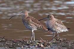 Pair of Curlews