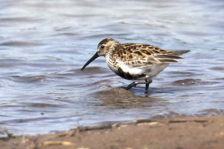 Dunlin at Venus Pool