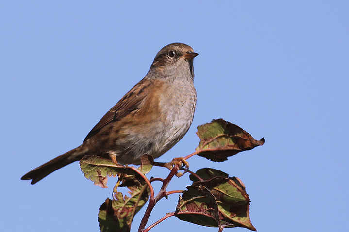 Dunnock at Venus Pool