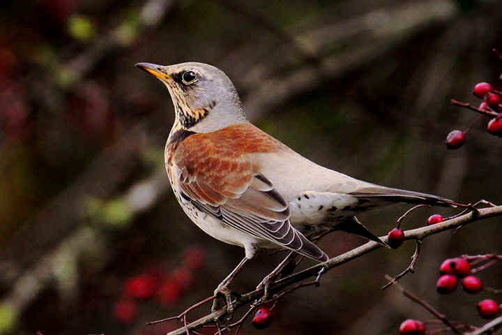 Fieldfare at Venus Pool