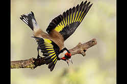 Goldfinch threat display