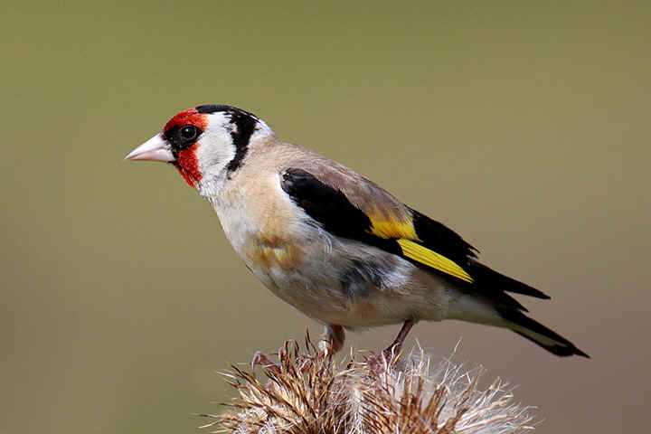 Goldfinch at Venus pool