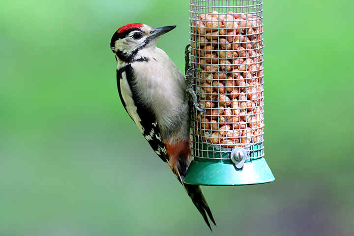 Great Spotted Woodpecker at feeding station - Venus pool