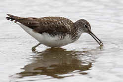 Green Sandpiper feeding at Venus Pool