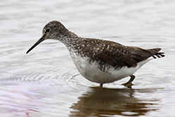 Green Sandpiper at Venus Pool