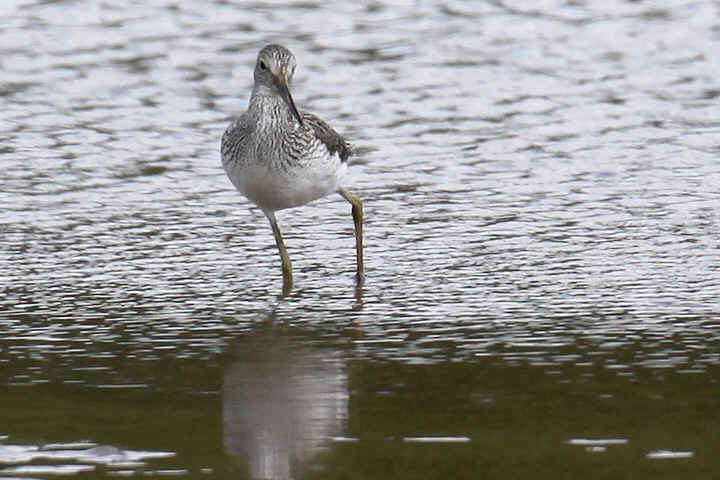 Greenshank at Venus Pool
