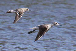 Greenshank and Ruff