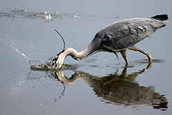 Grey Heron at Venus Pool