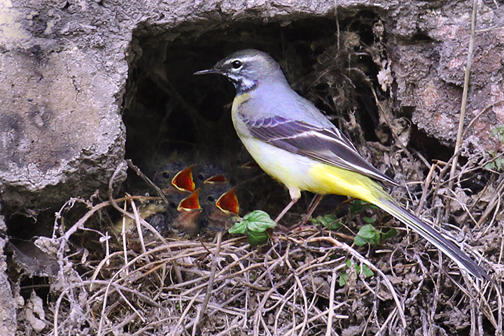 Male Grey Wagtail at nest