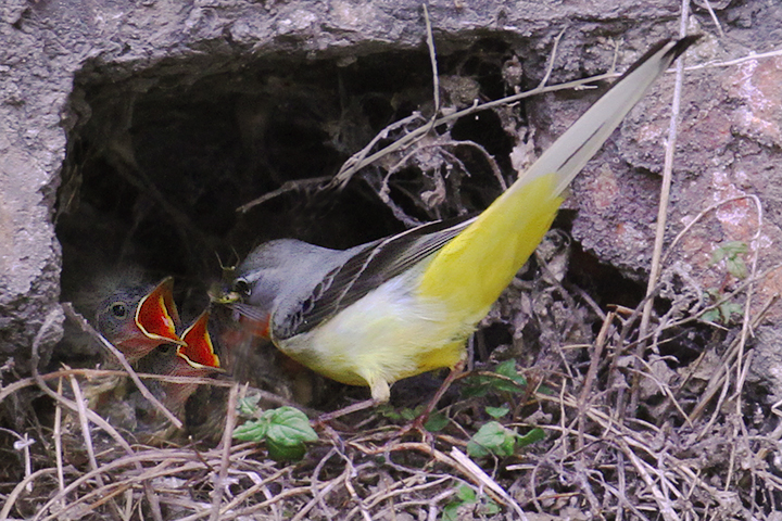 Grey Wagtail feeding young