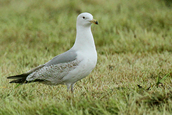 Herring Gull - late 3rd winter
