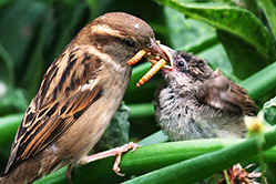 Female House Sparrow feeding fledgling