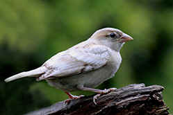 White House Sparrow