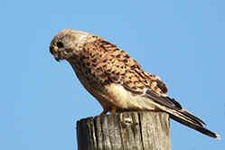 Femail Kestrel at Venus Pool