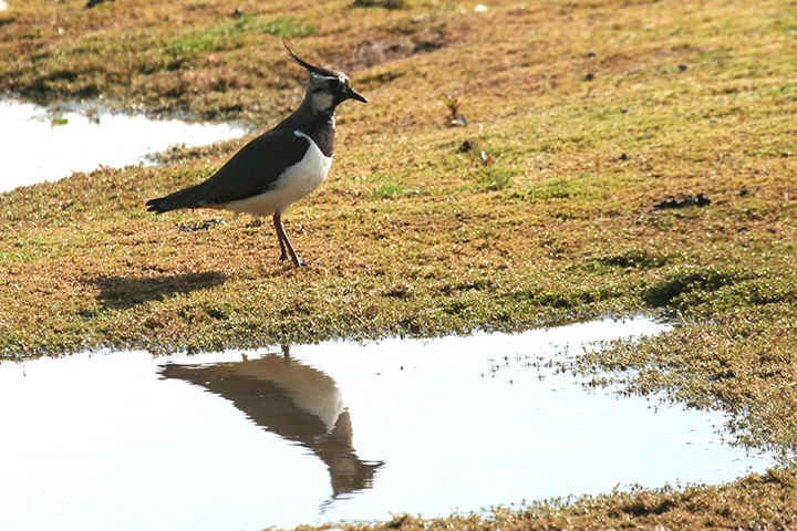 Lapwing at Venus Pool