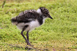 Young Lapwing at Venus Pool