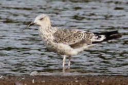 1st Winter Lesser Black-backed Gull at Venus Pool