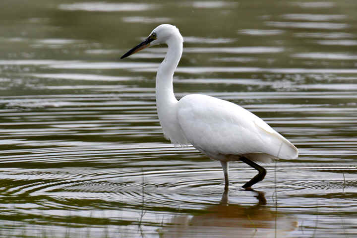 Little Egret at Venus |Pool