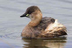 Little Grebe-2.Min