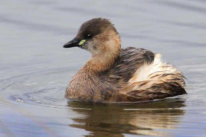 Little Grebe - Venus Pool