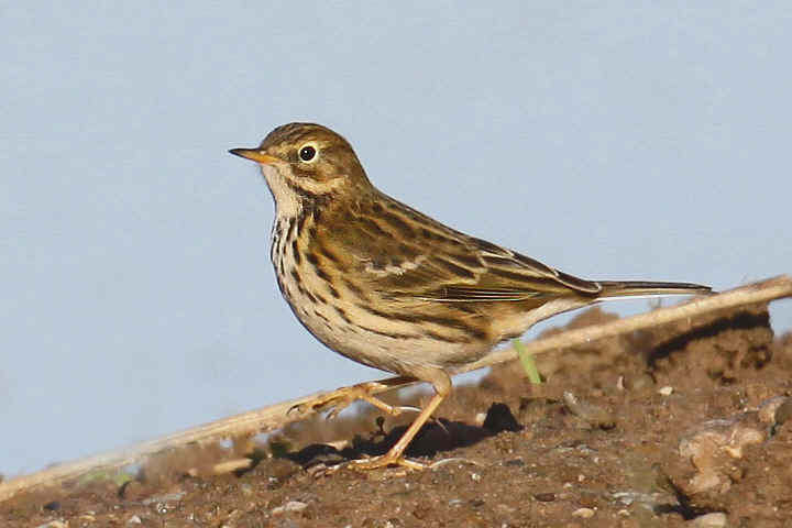 Meadow Pipit at Venus Pool