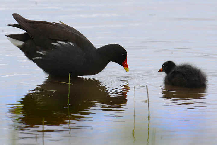 Moorhen with young at Venus Pool