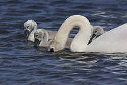 Mute Swan with sygnets at Venus Pool