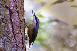 Nuthatch at Haughmond Hill