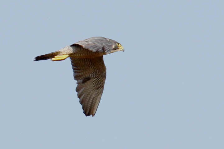 Peregrin Falcon flying over Venus Pool