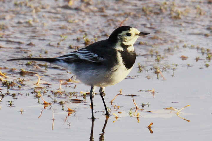 Pied Wagtail at Venus Pool