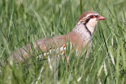 Red=legged Partridge