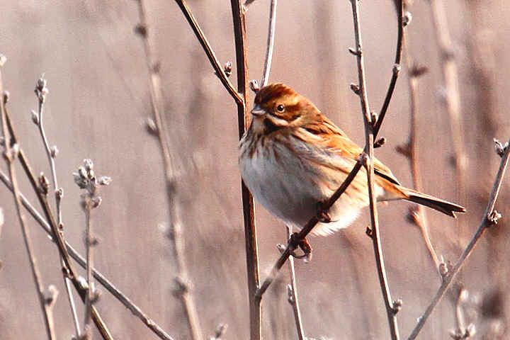 Reed Bunting at Venus pool