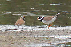 L-Little RingedPlover, R-Ringed Plover