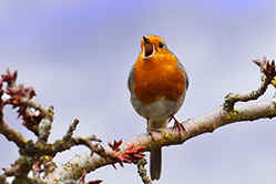 Robin in full song