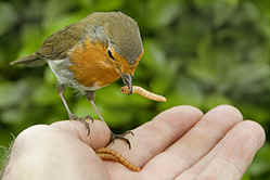 Robin feeding from hand