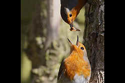 Robin courtship feeding